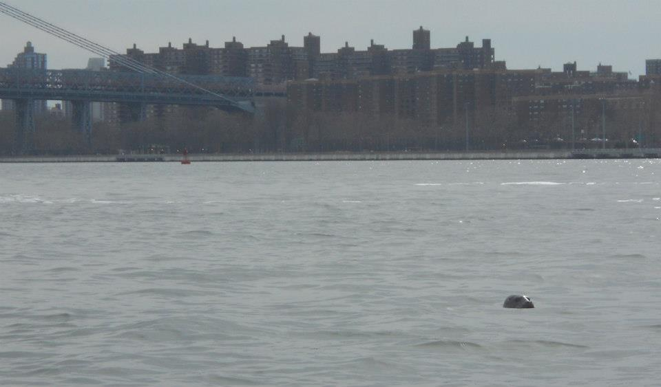 Winter-Kayaking-Harbor-Seal-East-River-North-Brooklyn-Boat-Club-05