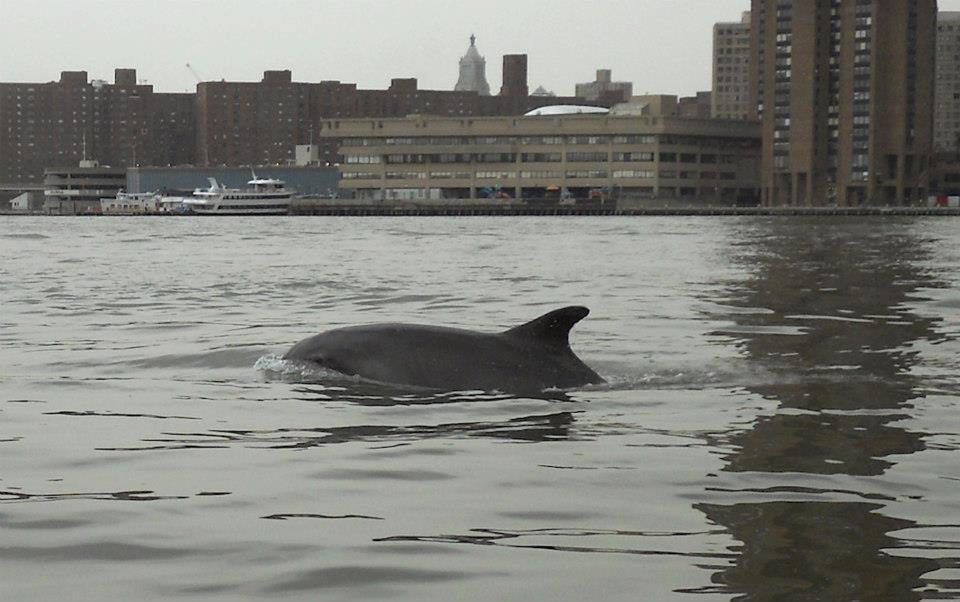 East River Dolphin