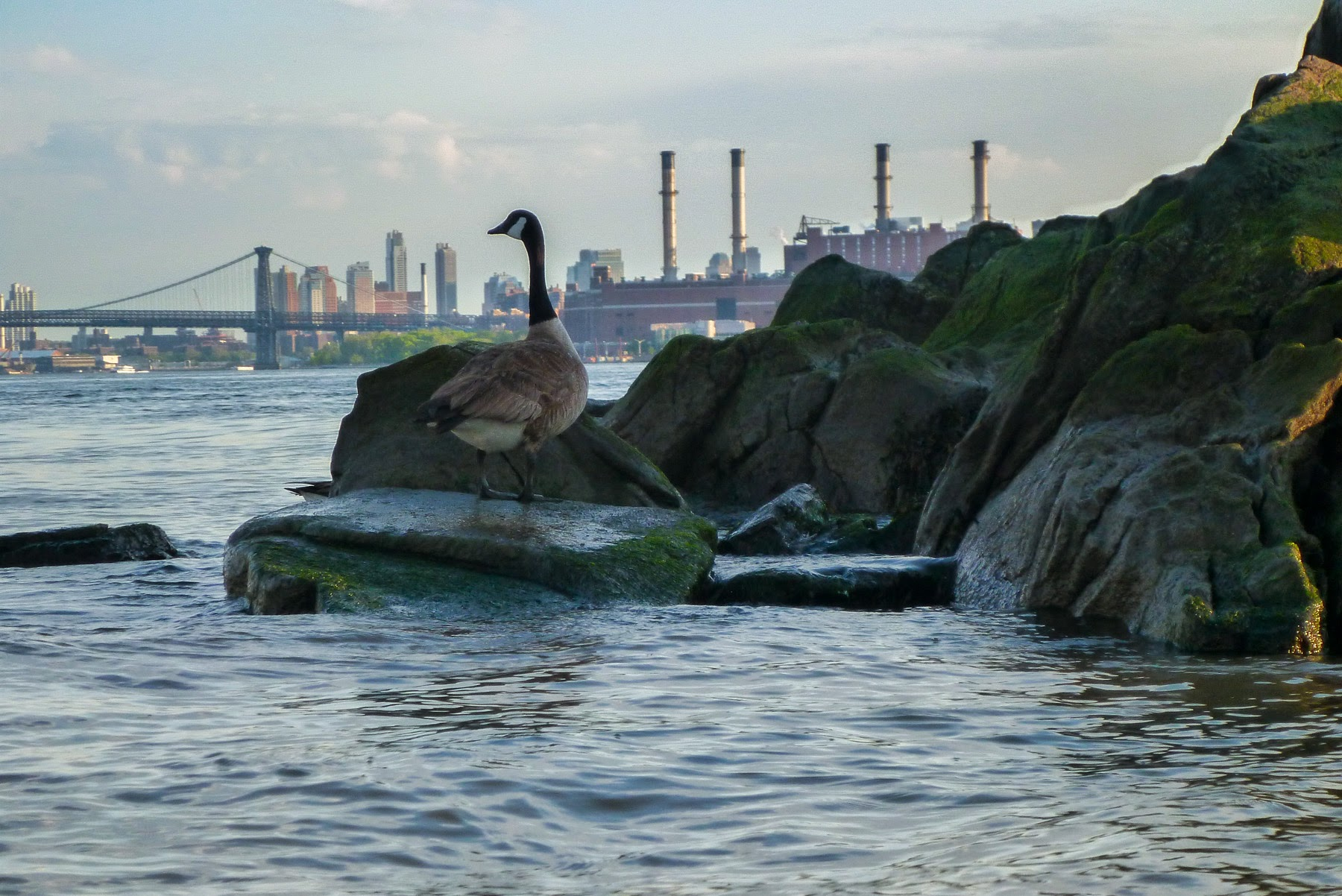 Canada goose, East River, May 2014. Photo by Klaus S.